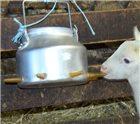 Tétine pour biberon à agneaux