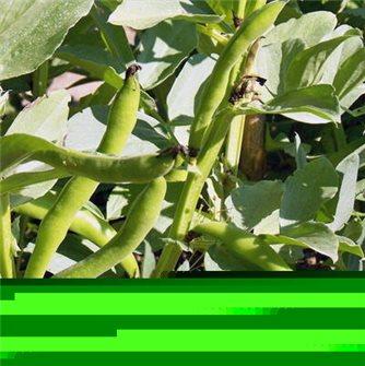 Graines de fève d´ Aguadulce